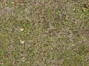 grass texture seamless high quality mixed grass texture with leaflike and dry patches textures texturelib